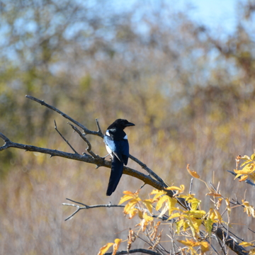 Magpie stay branch