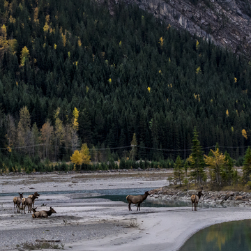 Elk in a dry river bed in autumn