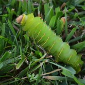 LUNA MOTH CATERPILLAR ESCAPE