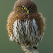 Vancouver Island Pygmy Owls