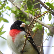 Male rose breasted grosbeak in tree.