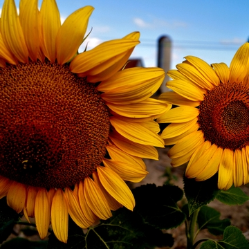 SunFlowers in the County