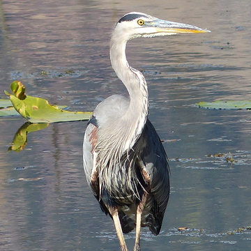 Great blue heron fall fishing