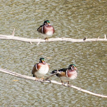 Wood Duck Convention