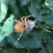 Garden Spider and the Hornet