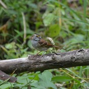 White-throated Sparrow!