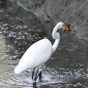 Great Egret!