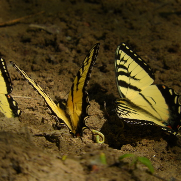Three tiger swallowtails.
