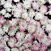 Cushion Mums