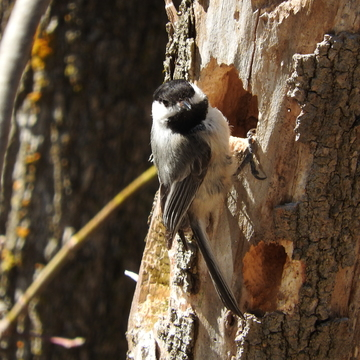 Chickadee at nesting hole.