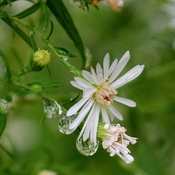 Rain drops and Asters