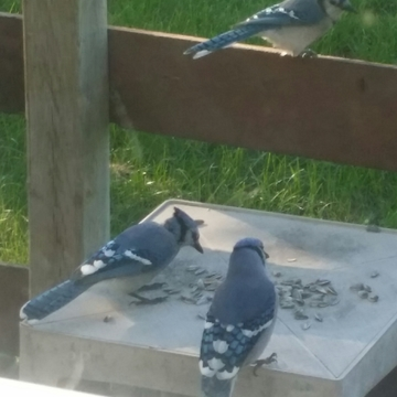 Picton Ontario, Blue Jays in my backyard