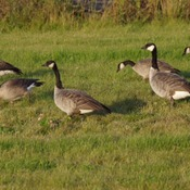 Geese feeding in the grass.
