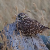 Burrowing Owls and Dragonfly