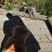 Raccoon Greeting