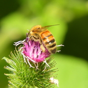 Busy honey bee