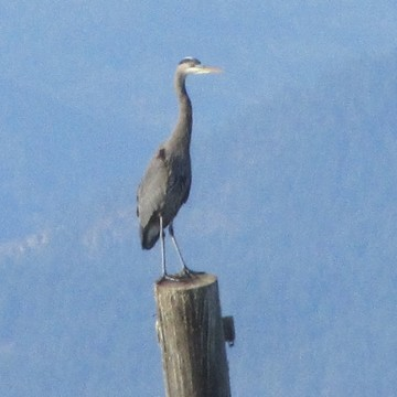 The Great Heron