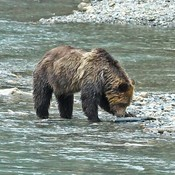 Awesome grizzly bears with Discovery Marine Safaris