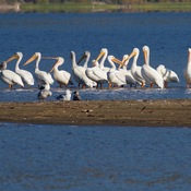 Pelicans on Nicola Lake