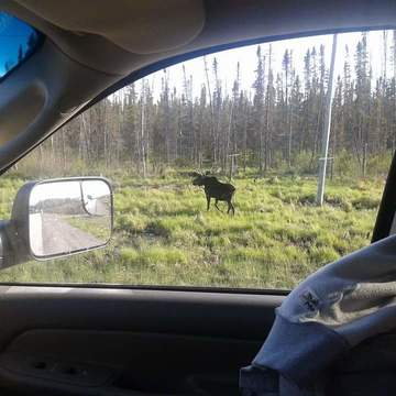 Bull Moose near Manitoba/Ontario border