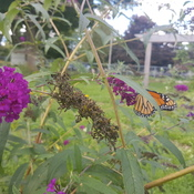 butterfly bush migrating monarch