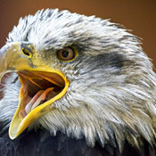Mature Bald Eagle