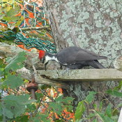 my first pileated wood pecker