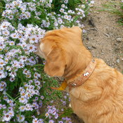 mackenzie in the asters