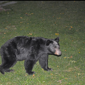 "Un ""Bearably"" close encounter with Black Bear"