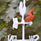 Northern Cardinal Message??
