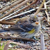Busy beach combing Warbler.