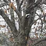 Woodpecker in the tree