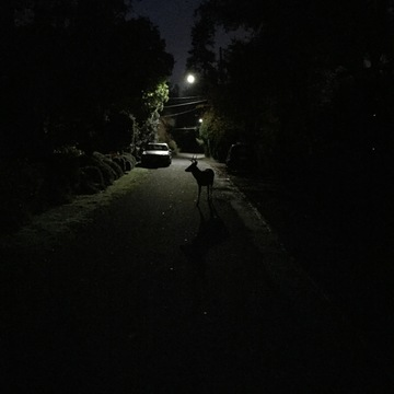 Young deer poses under street lamp