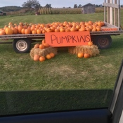 need a pumpkin?
