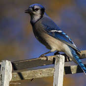 Blue Jay DAY!