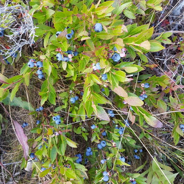 Tons of Berries