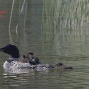 loon and three chicks