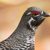 Spruce Grouse (male)