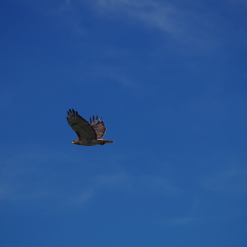 Spooked hawk