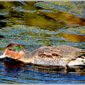Green - winged Teal.............