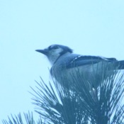 Blue Jays in Amherstburg