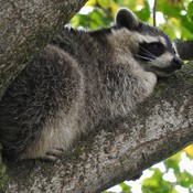 Raccoon Rest