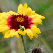 Gaillardia and Cucumber Beetle