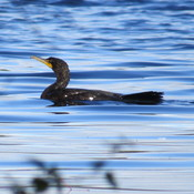 A great cormorant enjoying his swim