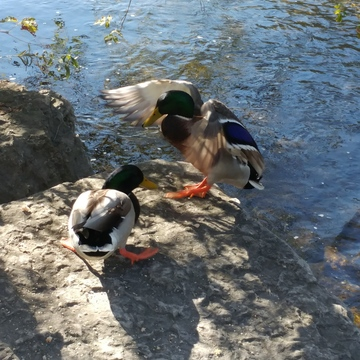 Duck Meeting