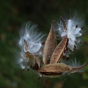Seeds In the wind.