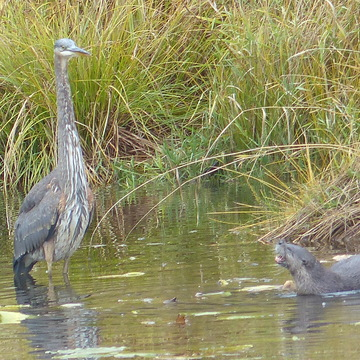 Great blue heron and the otter