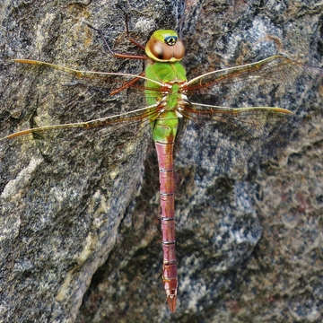 Late female Green Darner?