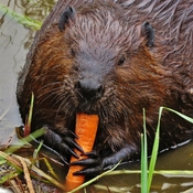 Happy hungry Beaver.