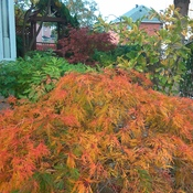 Fall color of our frontyard